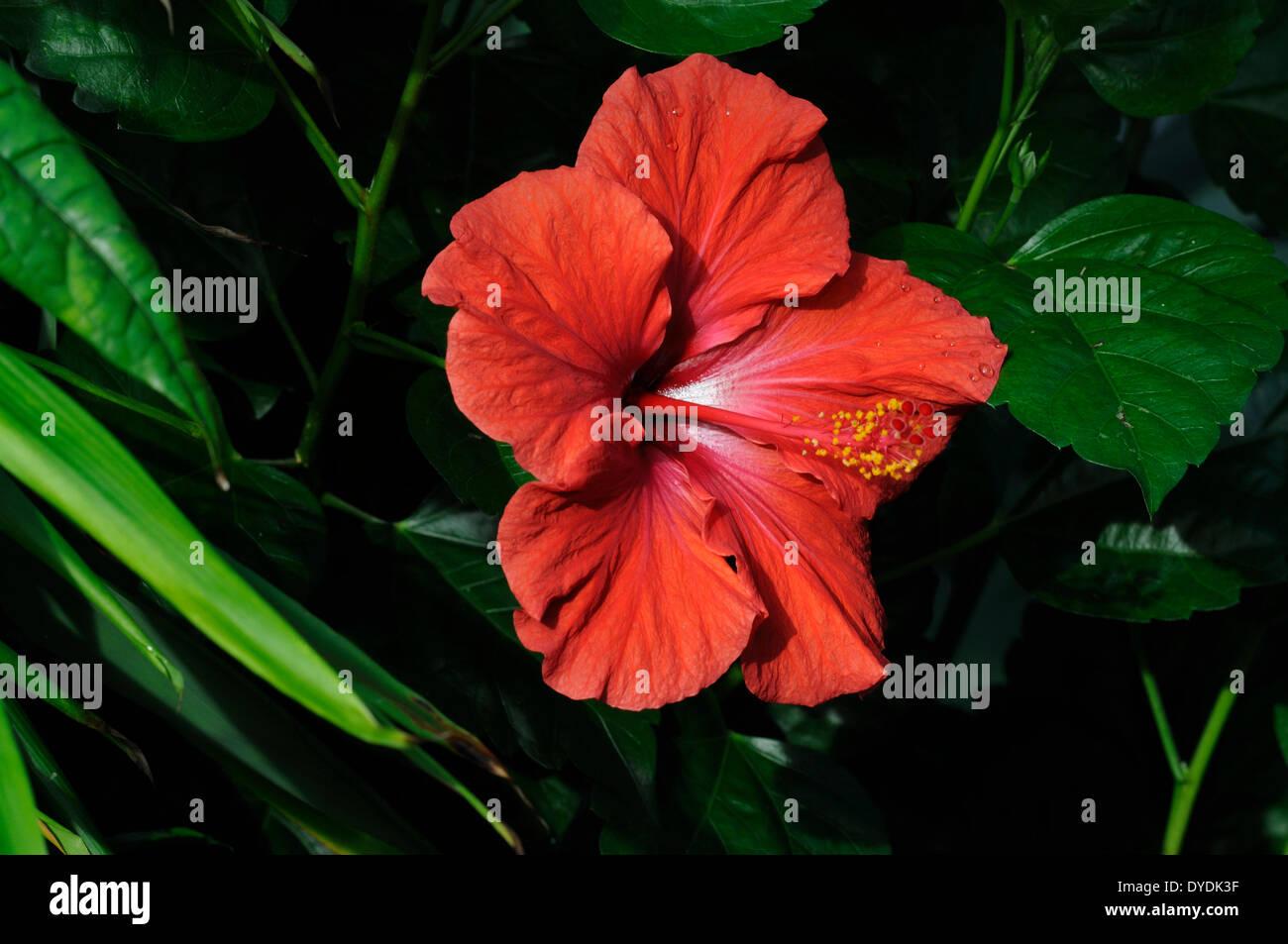 Hibiscus Malvacea Flower Shrub Blossom Origin Asia Botanical
