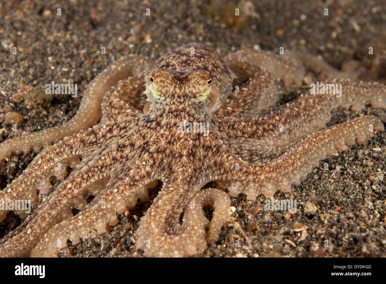 Long Arm Octopus (Octopus sp.), this as yet un-named and undescribed species is common in the Lembeh Strait - Stock Image