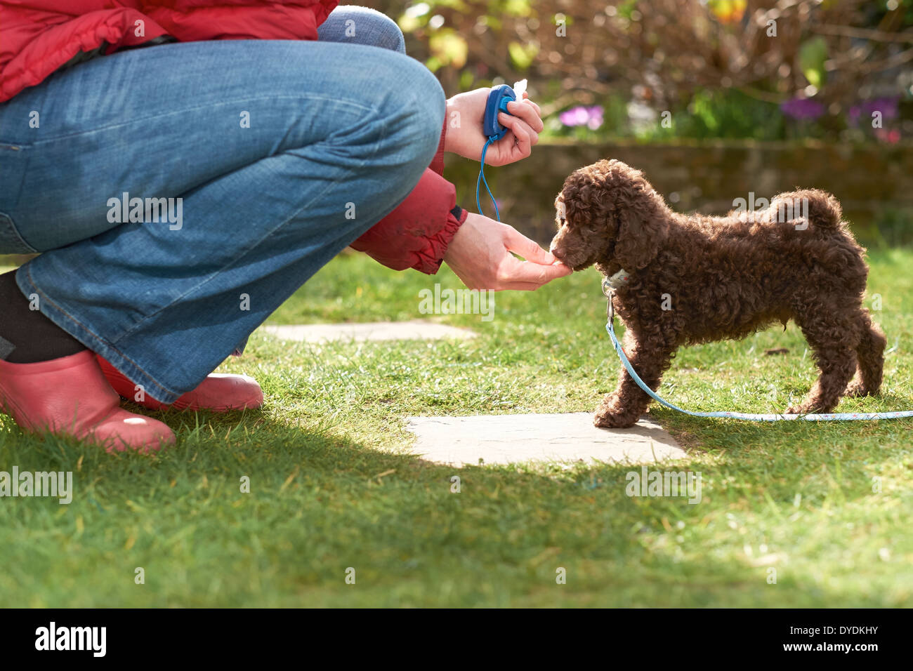 Lead and clicker training for a miniature poodle puppy in the garden. - Stock Image