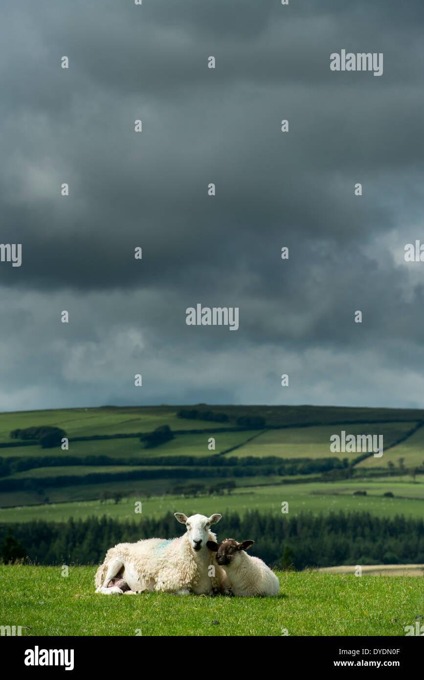 Sheep grazing on rural farmland on Exmoor, UK against a dark storm sky - Stock Image