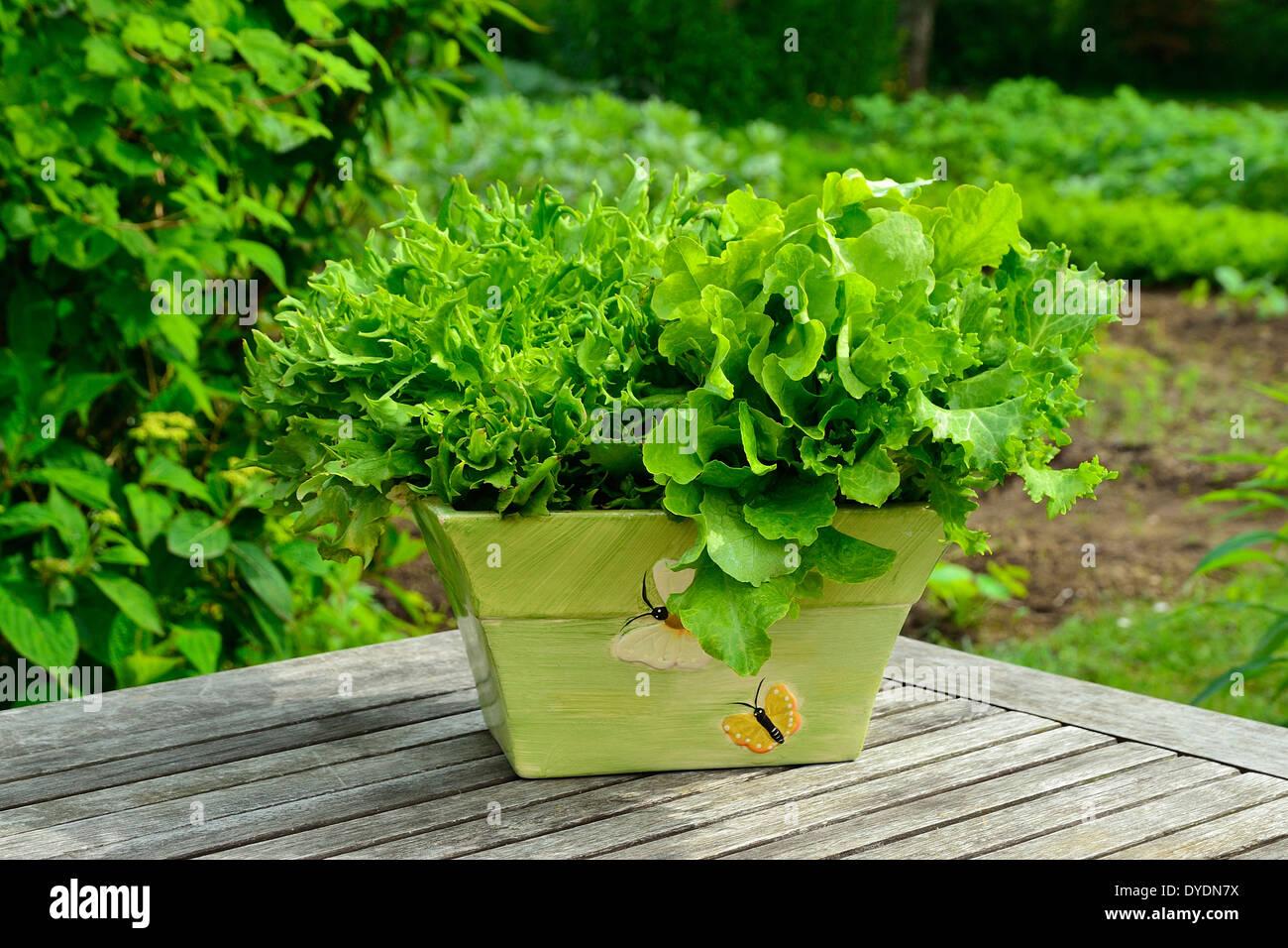 Different Varieties Of Lettuces Batavia Leaf Of Oak