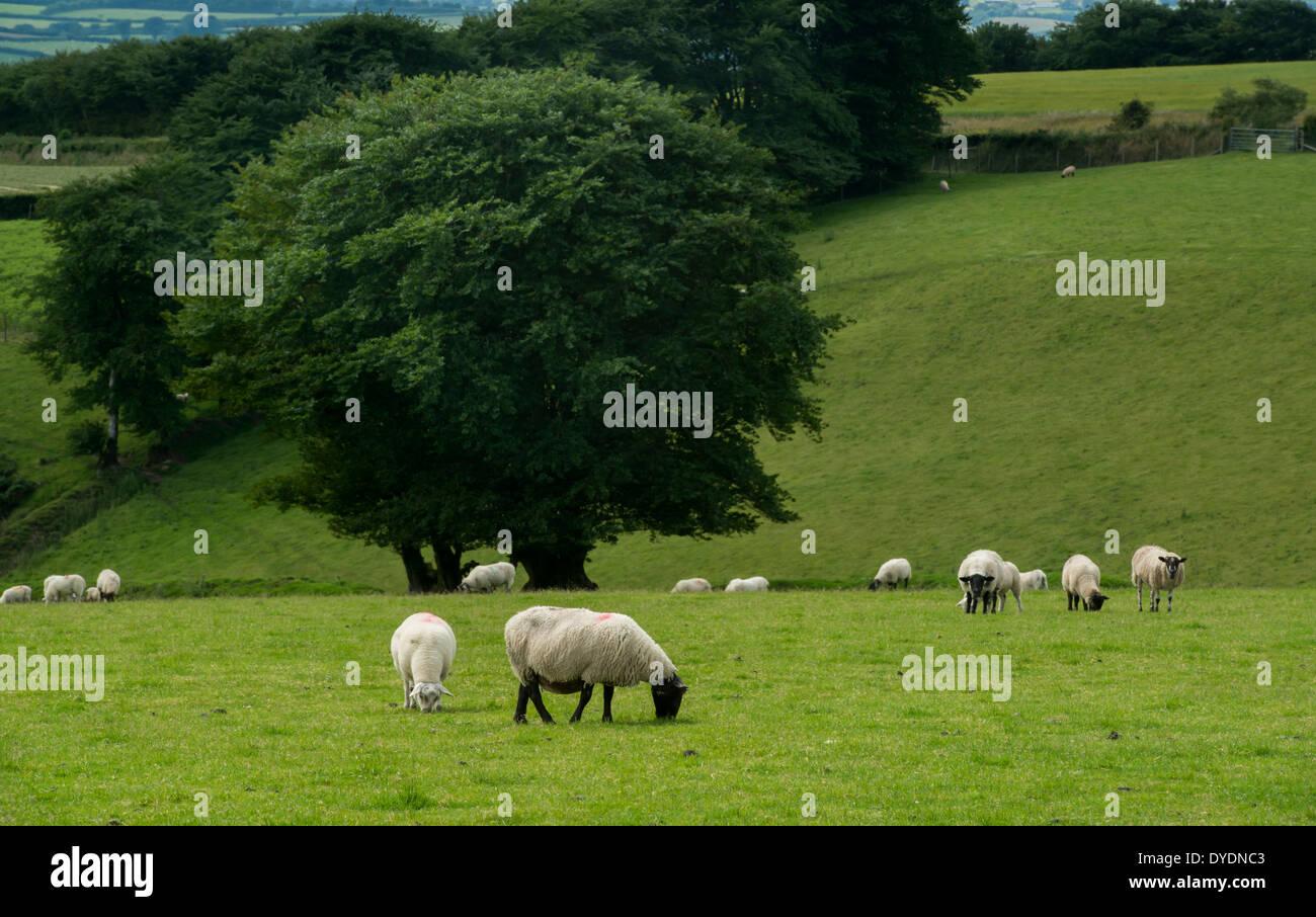 Sheep grazing on rural farmland on Exmoor, UK - Stock Image