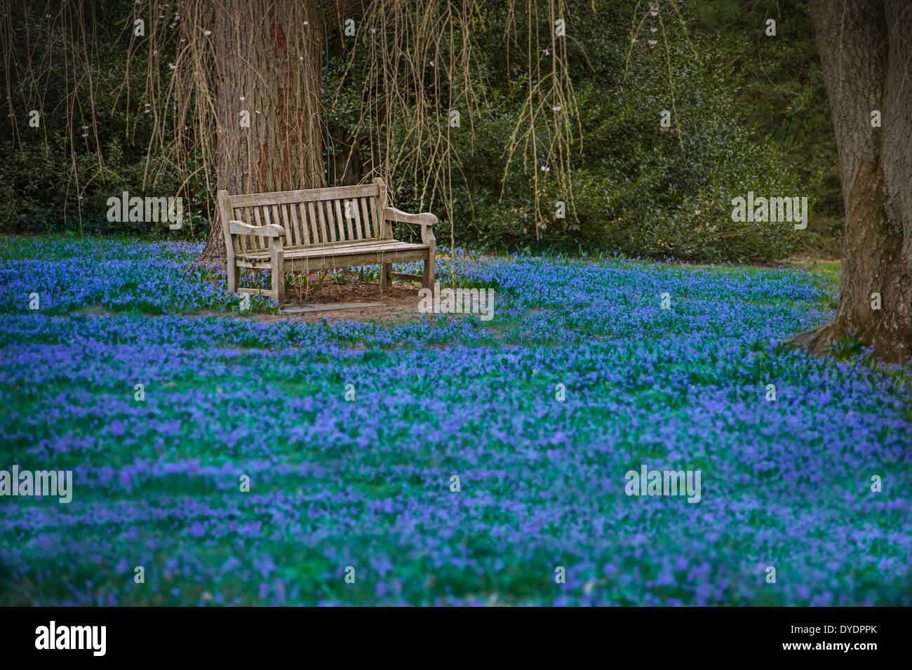 empty park bench in blue field of flowers, spring time - Stock Image