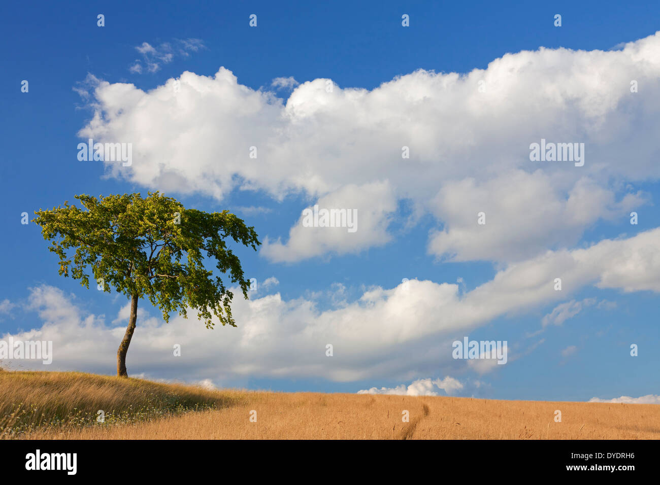 Solitary lime tree / linden in wheat field in the countryside in summer - Stock Image