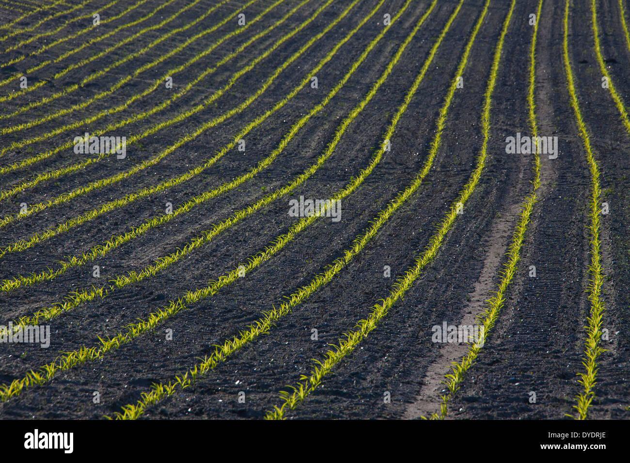 Rows of maize / corn (Zea mays) seedlings growing in field in spring - Stock Image