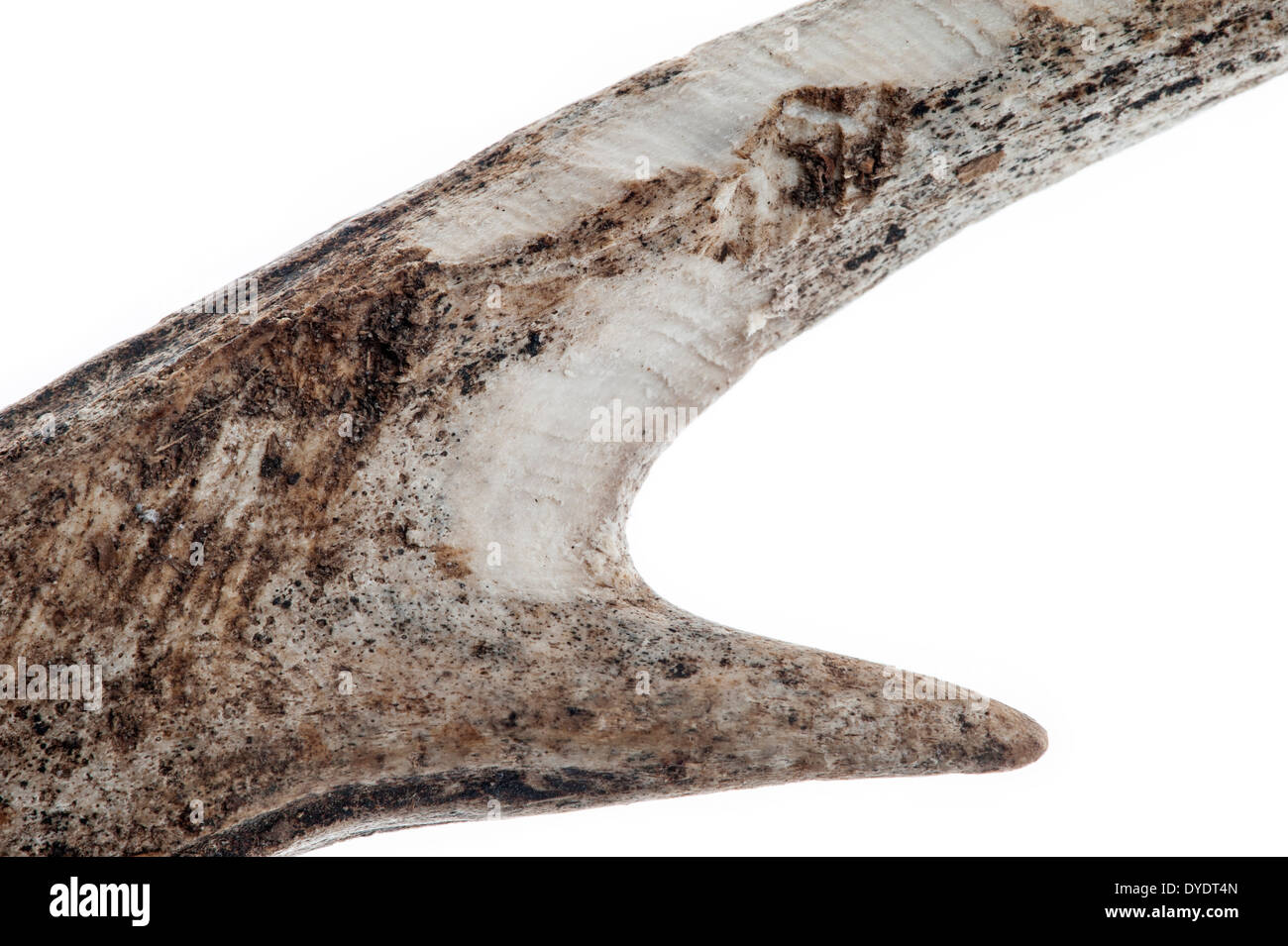 European roe deer (Capreolus capreolus) shed antler with teeth marks and gnawed upon by rodents for magnesium, calcium, minerals - Stock Image
