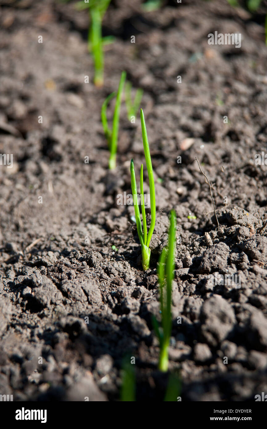 onion seedlings sprouting from a vegetable patch in spring - Stock Image