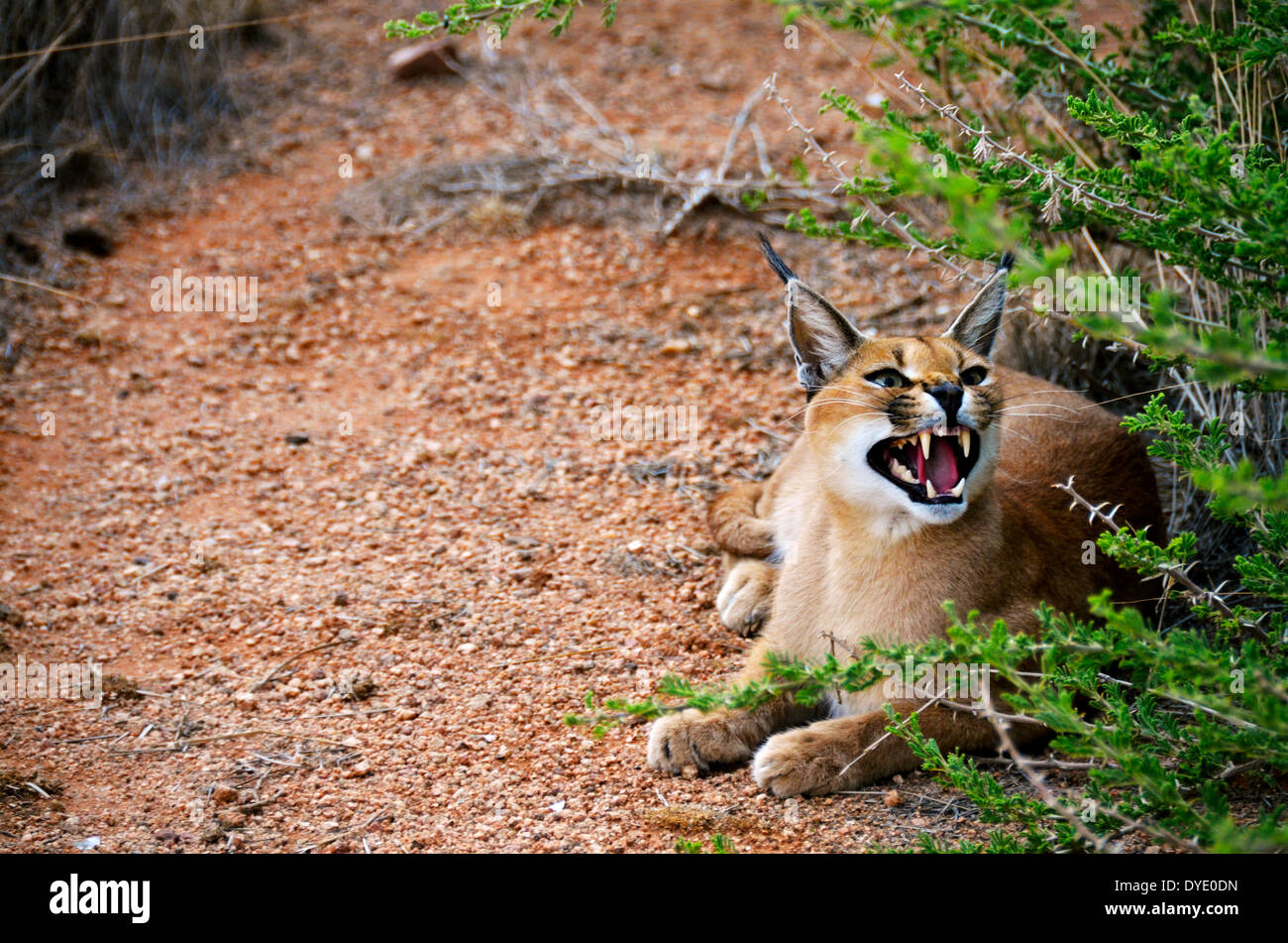 an african caracal cat in Namibia showing its teeth - Stock Image