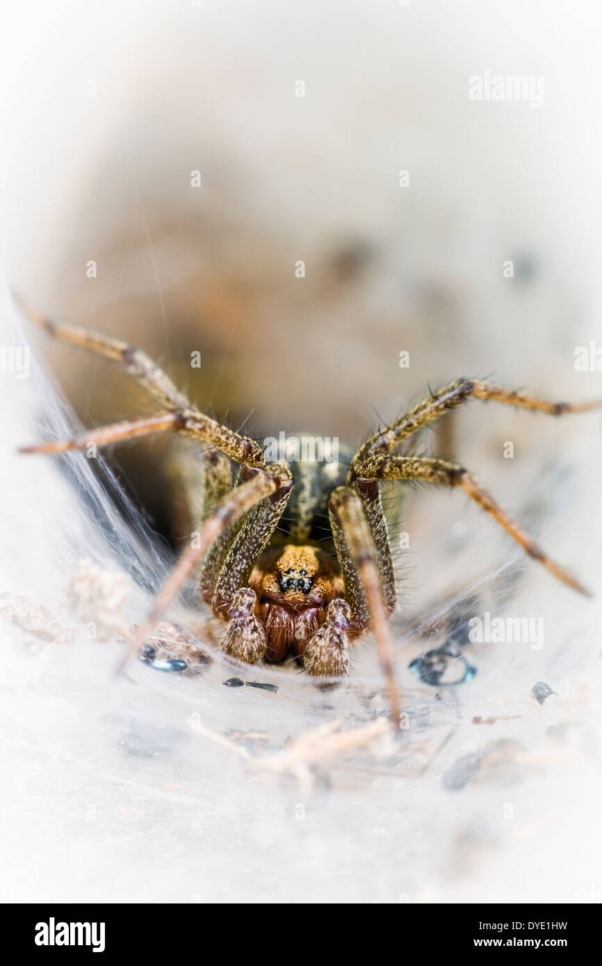Labyrinth spider in its funnel shaped web - Stock Image