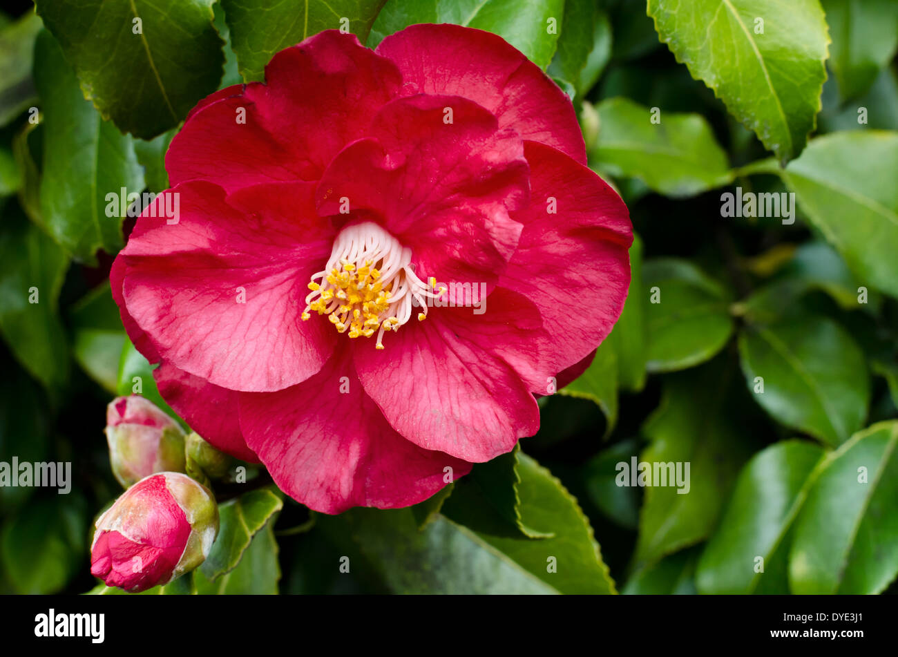 Camellia Japonica Roger Hall red blooming blossom of camellia japonica on a bush in the