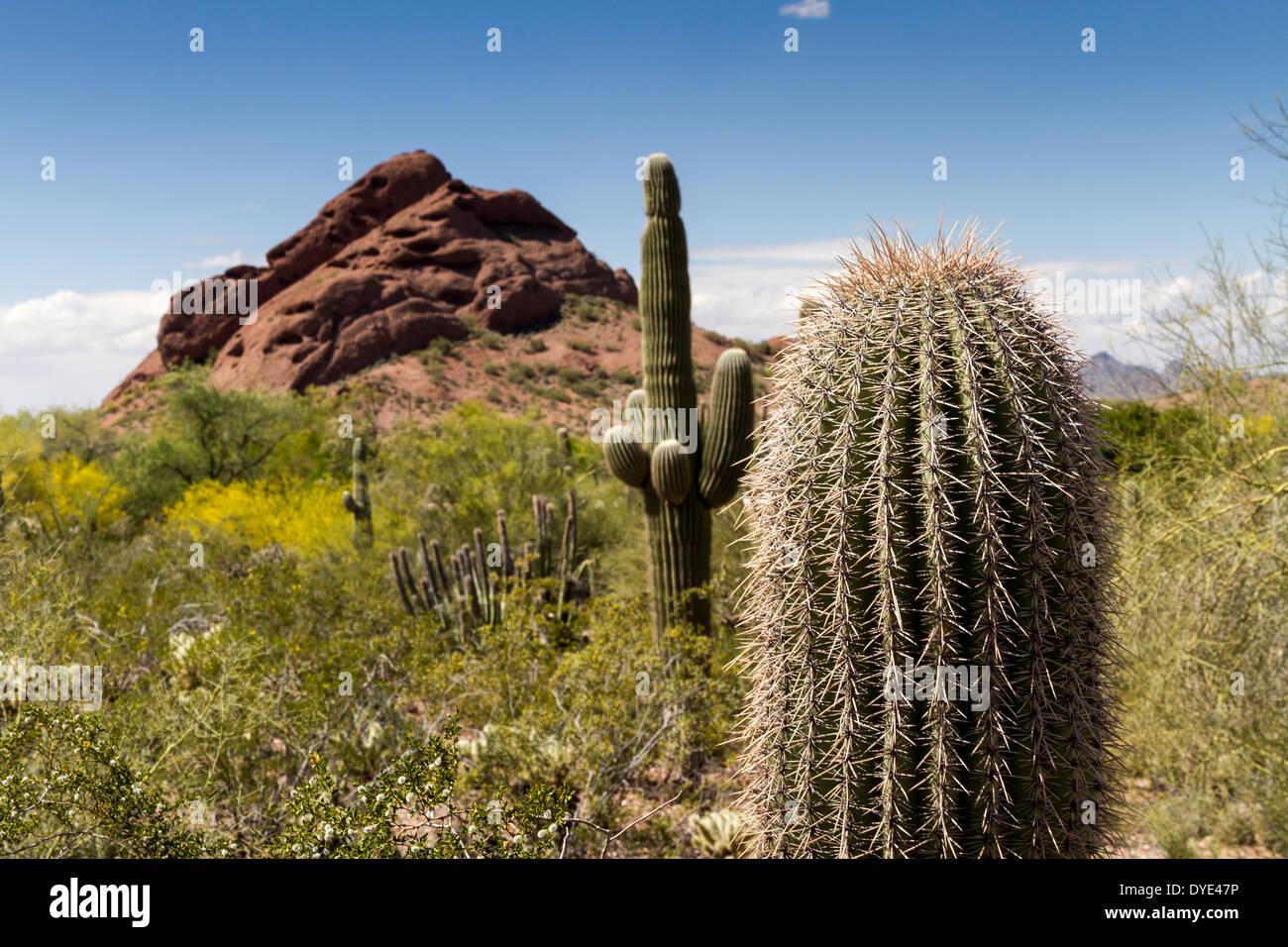 Papago Butte and cactus, Desert Botanical Gardens, Phoenix, Arizona ...