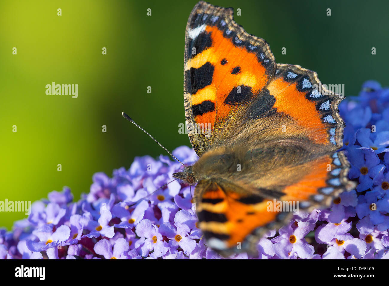A Small Tortoiseshell butterfly (Aglais urticae) nectaring on Buddleia flowers - Stock Image