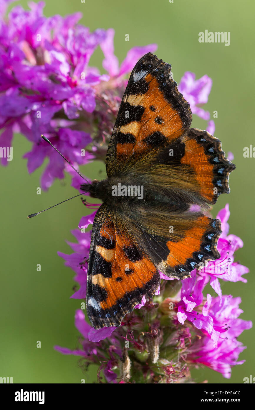 A Small Tortoiseshell butterfly (Aglais urticae) nectaring on purple flowers - Stock Image