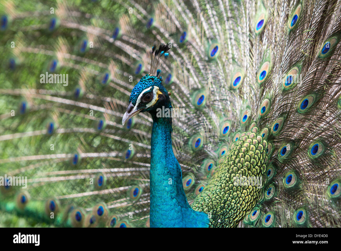 Peafowl, Peacock -flying bird in the genus Pavo of the pheasant family, Phasianidae, best known for the male's extravagant. - Stock Image