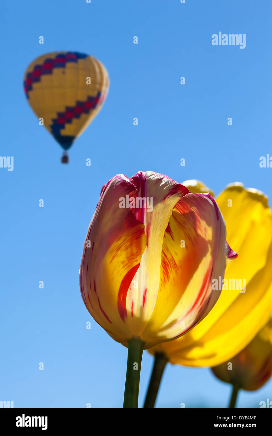 Yellow An Red Tulip Flowers With Hot Air Balloon In The Sky At Tulip Stock Photo Alamy