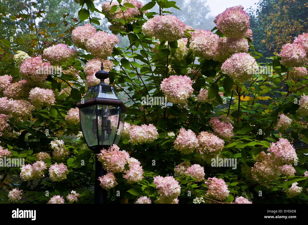 Lamppost Among Blossoming Pink Autumn Hydrangeas On A Foggy Day In