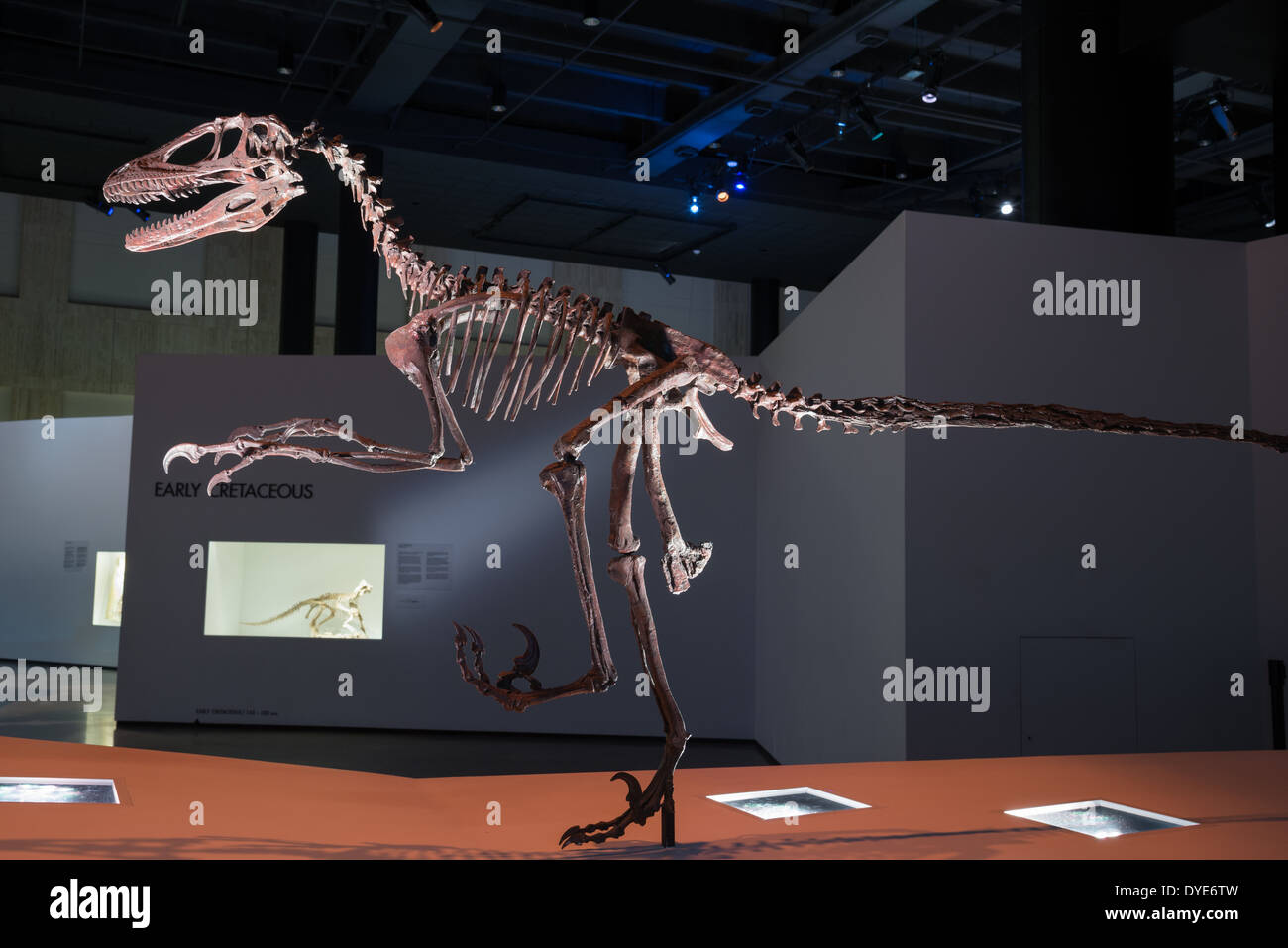 Fossil skeleton of a Deinonychus. Cretaceous age. - Stock Image