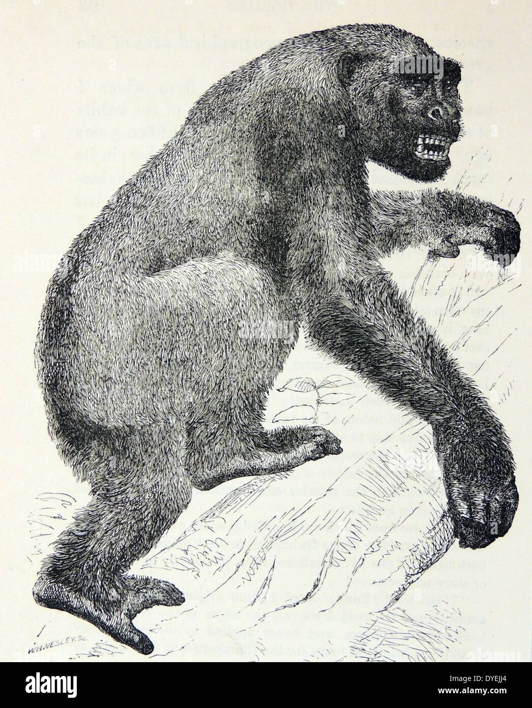 The Gorilla, after Wolf.  From ''Man's Place in Nature'', London, 1894, by Thomas Henry Huxley. - Stock Image