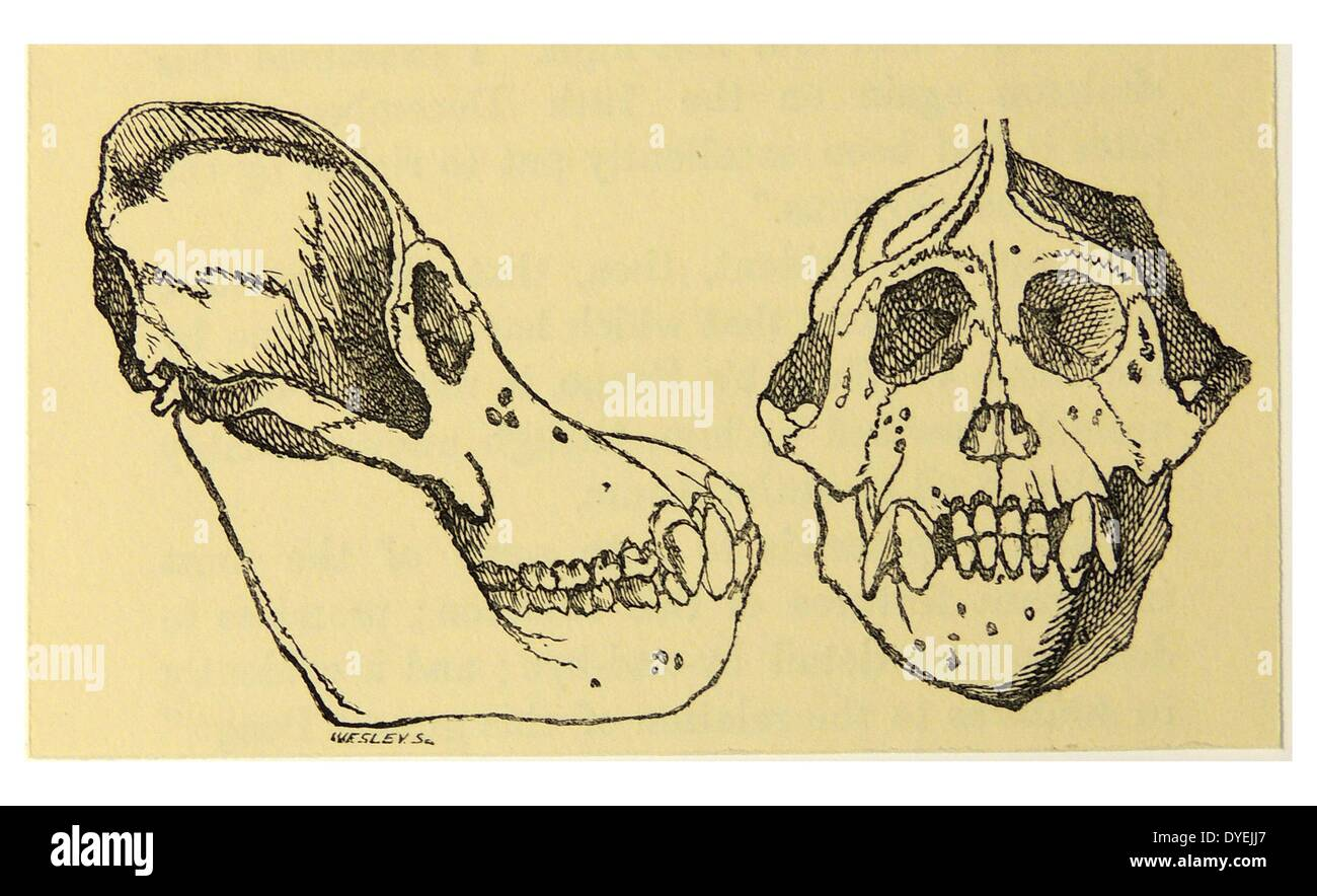 The Pongo skull sent by Rademaker to Camper.  From ''Man's Place in Nature'', London, 1894, by Thomas Henry Huxley. - Stock Image