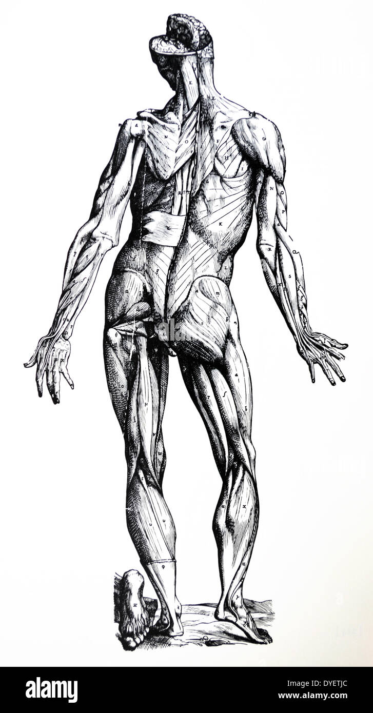 The Plates from the Seventh Book of the De Humani Corporis Fabrica by Andreas Vesalius, - Stock Image