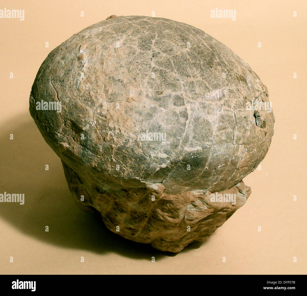 Fossilized egg of a dinosaur, probably a Hadrosaur from the Late Cretaceous period, 84 to 71 million years ago. - Stock Image