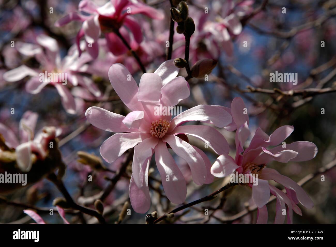 Leonard Messel Magnolia Tree Stock Photo 68565641 Alamy