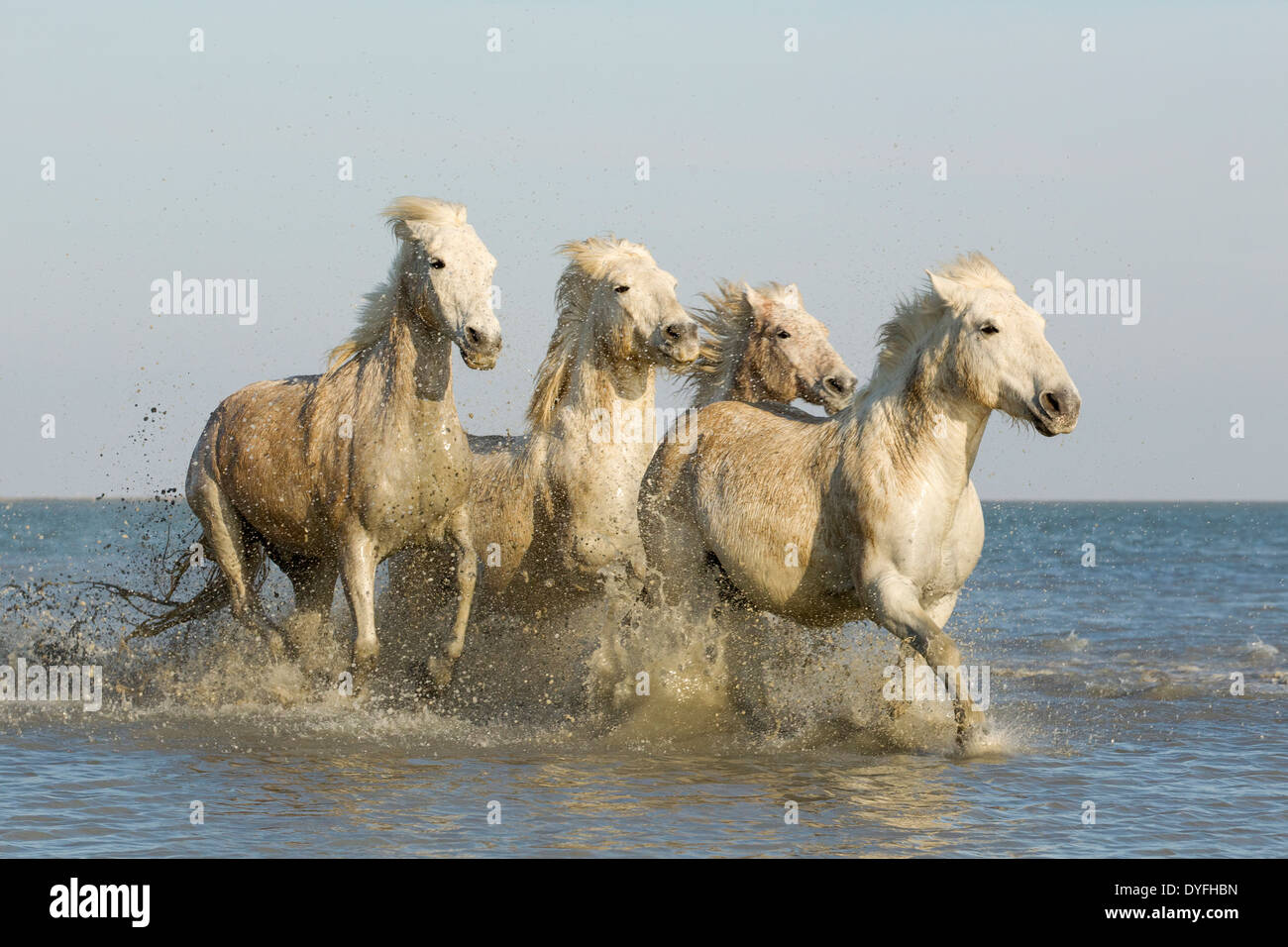 Camargue Horse Running Through Water Stock Photos ... - photo#13