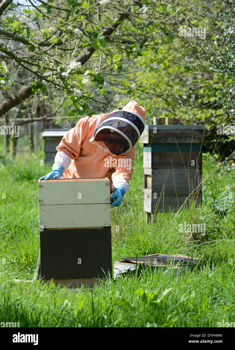 National Trust Bee keeper keeping honey bees hive Uk - Stock Image