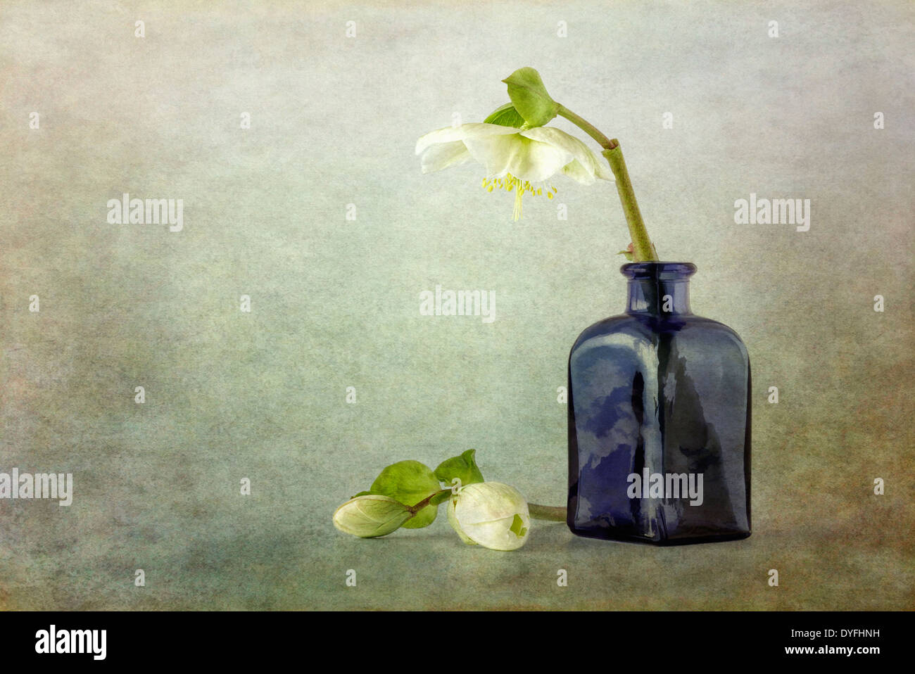 Hellebores and blue glass vase with texture overlay - Stock Image