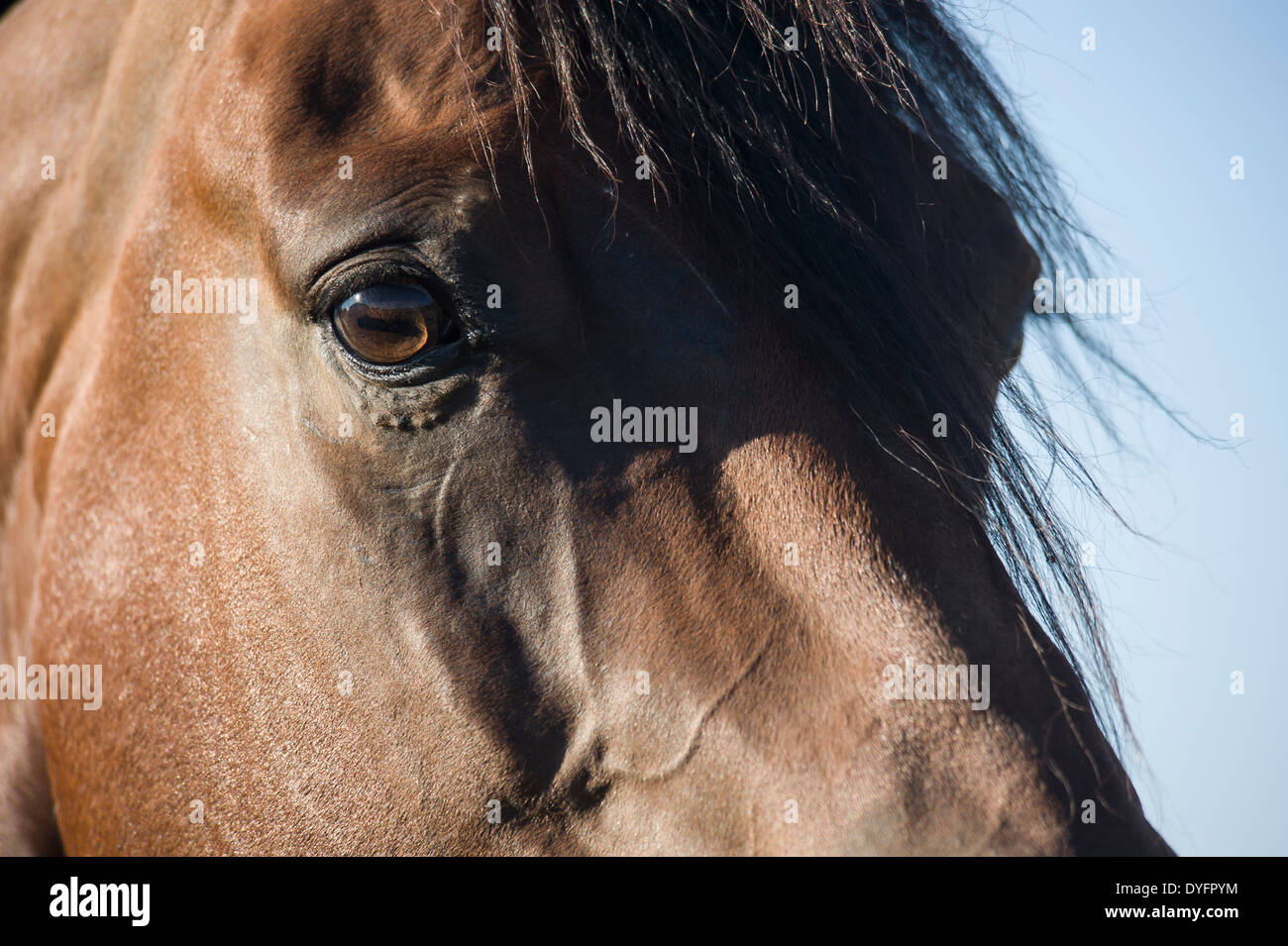 Detail of Quarter Horse stallion head and eyes - Stock Image