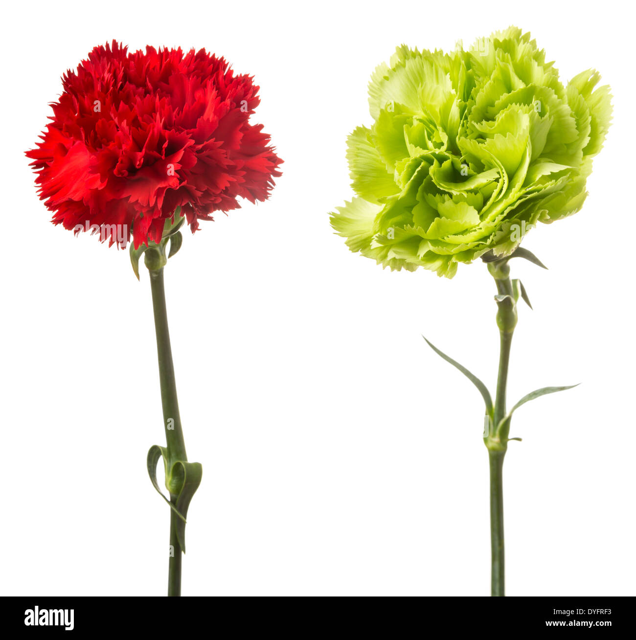 Green Carnation Stock Photos Green Carnation Stock Images Alamy