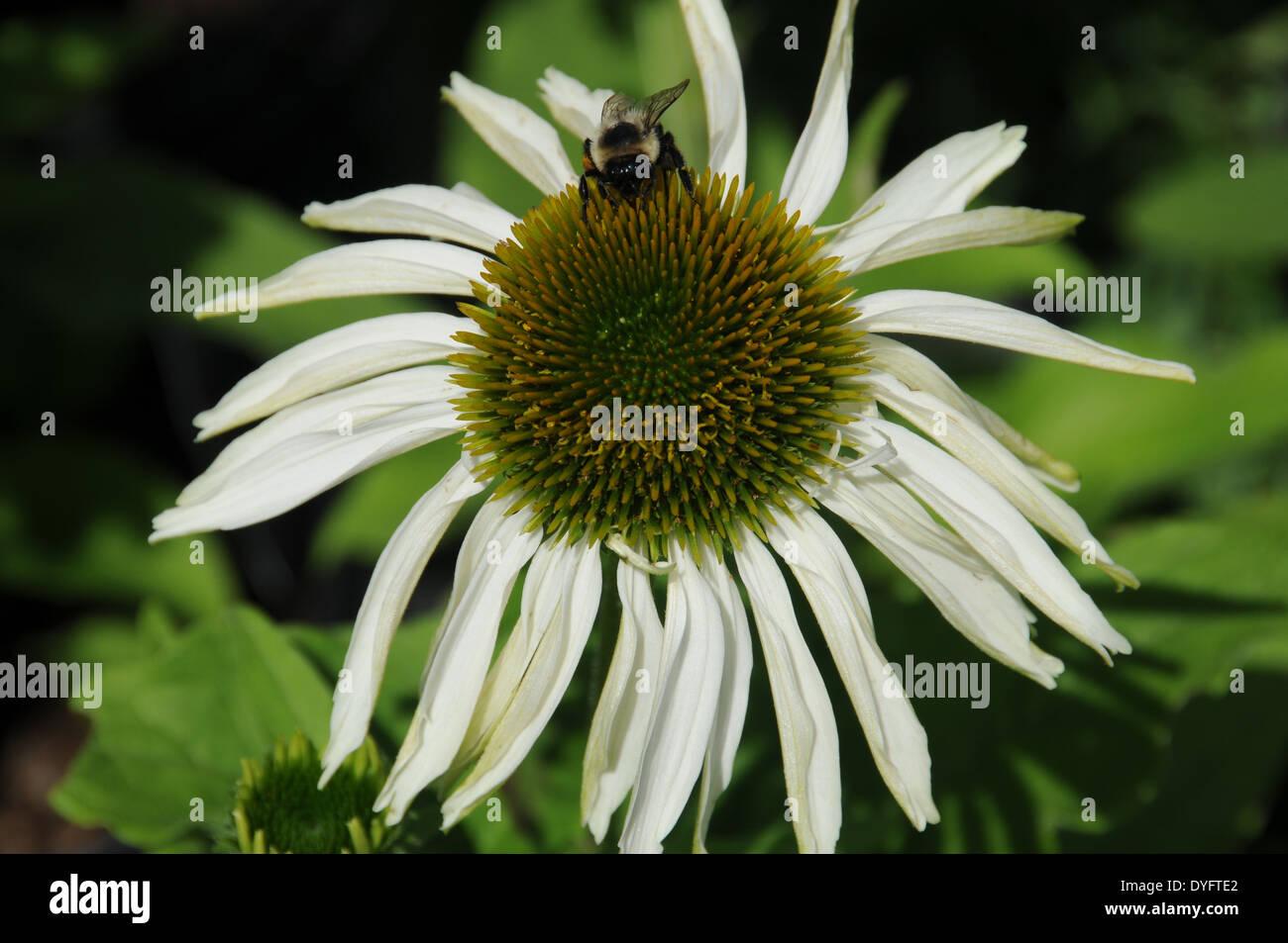 Echinacea Purple Cone Flower White Cone Flower Bees Stock Photo