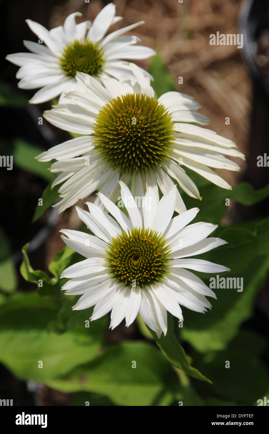 Echinacea Purple Cone Flower White Cone Flower Bees Stock Photo