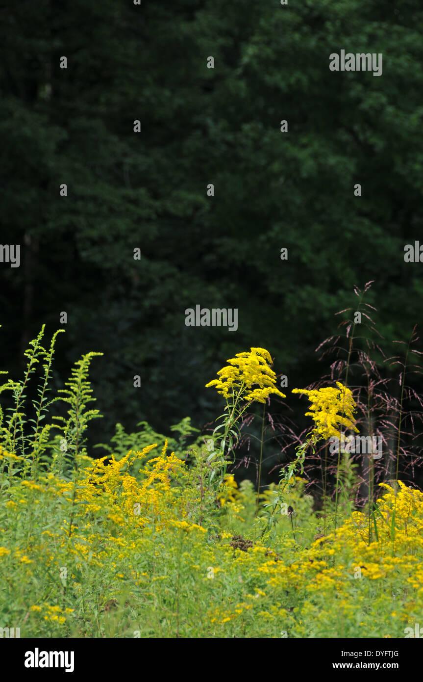 goldenrod Stock Photo