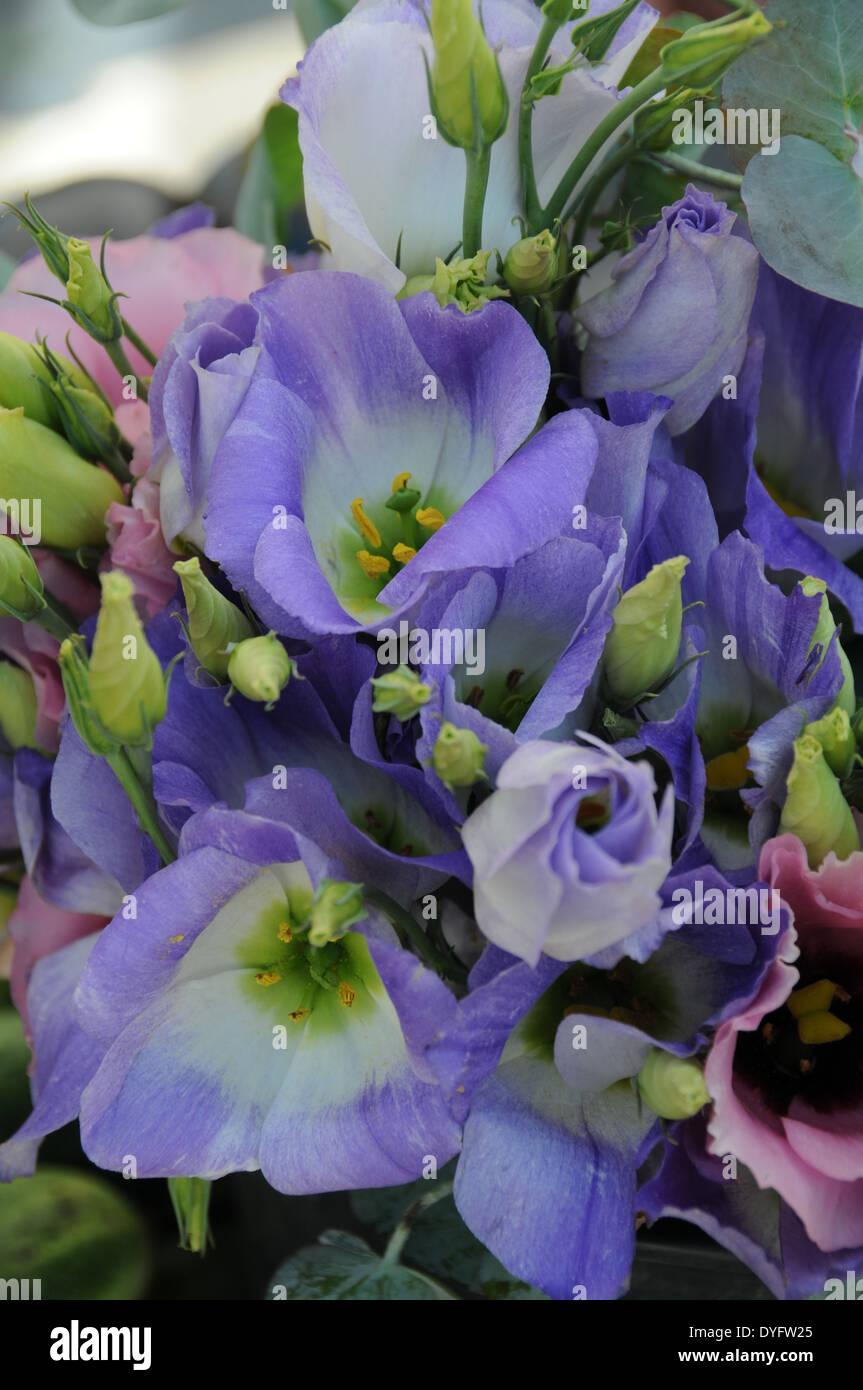 Lisianthus purple and white - Stock Image