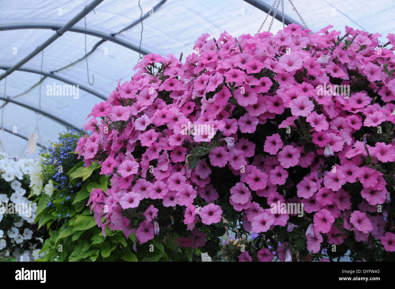 Petunia white pink red purple yellow hanging basket pricilla stock petunia white pink red purple yellow hanging basket pricilla mightylinksfo