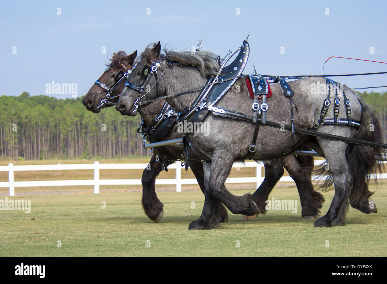 Brabant Draft Horse Pair Pulling Wagon In Show Tack Stock Photo Alamy