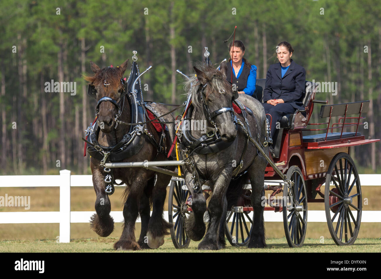 Brabant Draft Horse pair pulling wagon in show tack - Stock Image