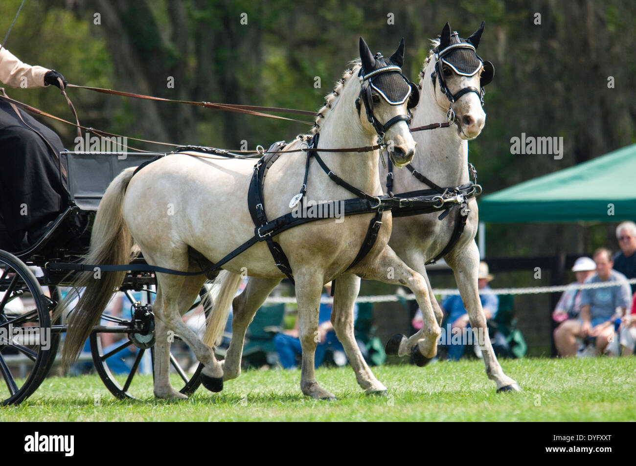 Combined driving competition, Welsh Pony team hitch - Stock Image