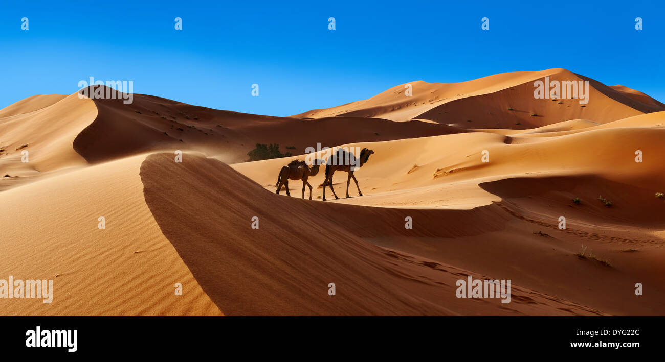 Camels amongst the Sahara sand dunes of erg Chebbi, Morocco, Africa - Stock Image