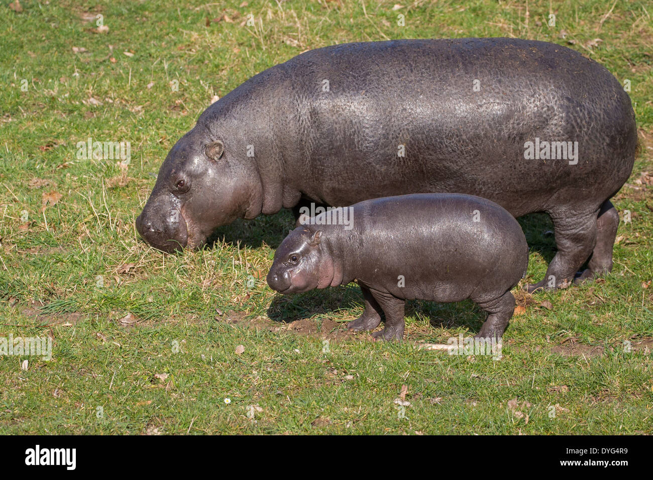 Pygmy Hippo three months old - Stock Image