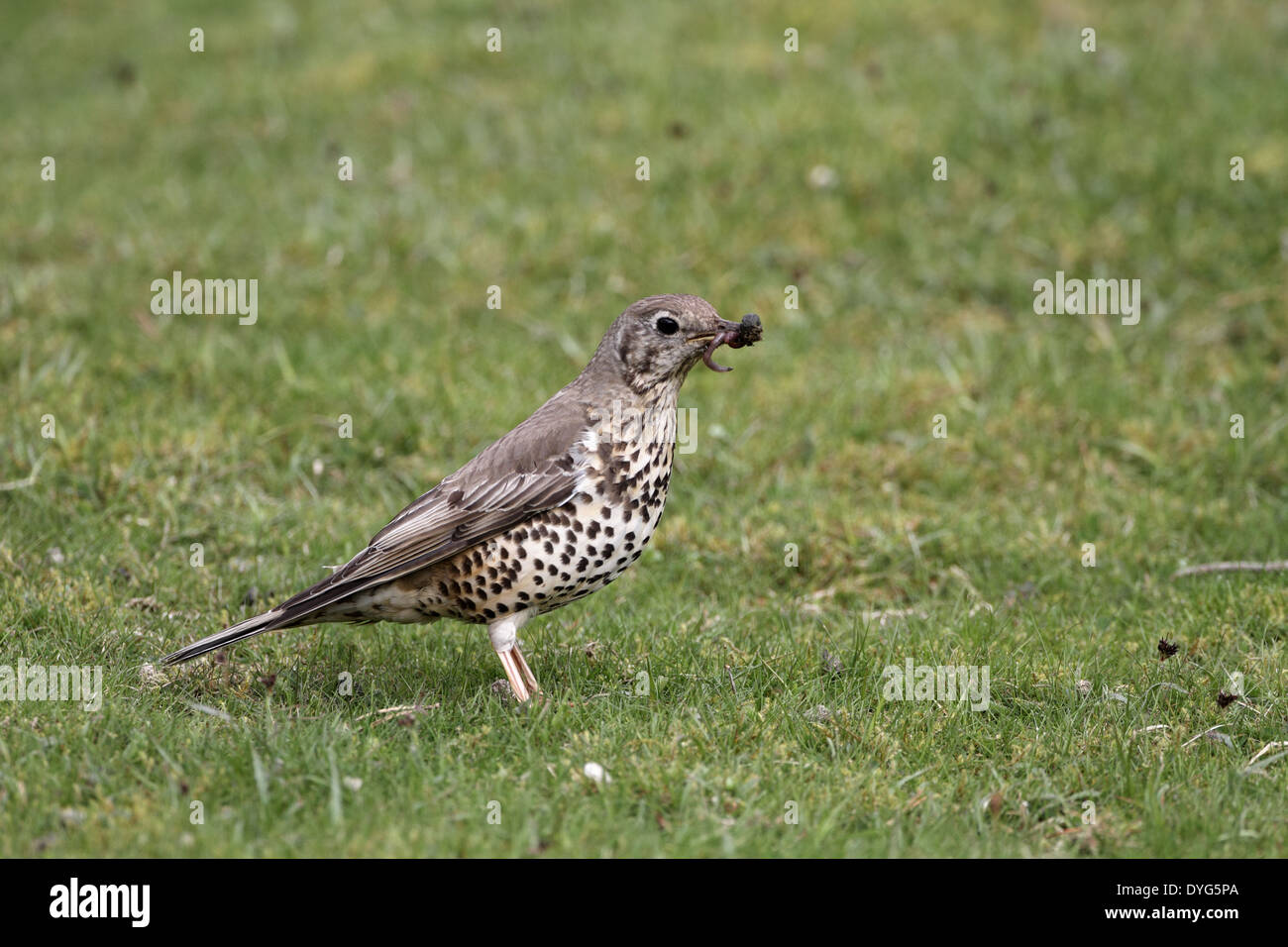 Mistle Thrush, Turdus viscivorus, feeding on worms - Stock Image