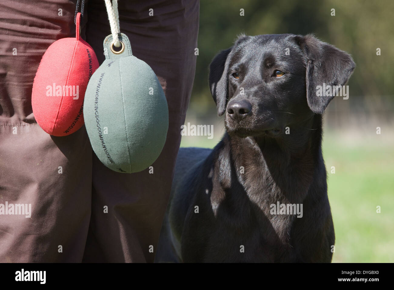 A black Labrador Retriever working dog with its owner during an outdoor training session in a grass field - Stock Image
