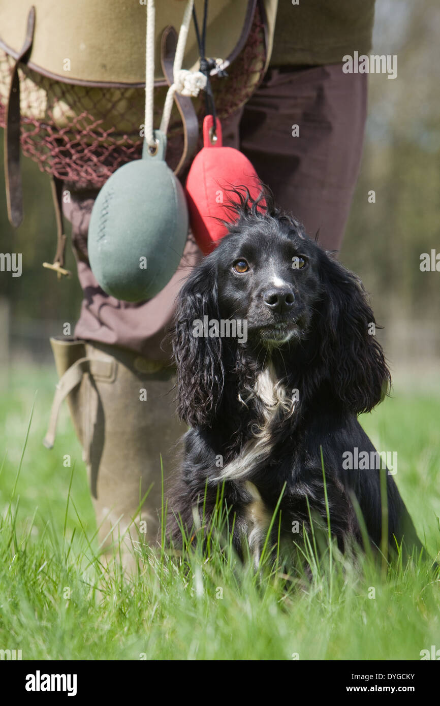 A black Cocker Spaniel working dog with its owner during an outdoor training session in a grass field - Stock Image