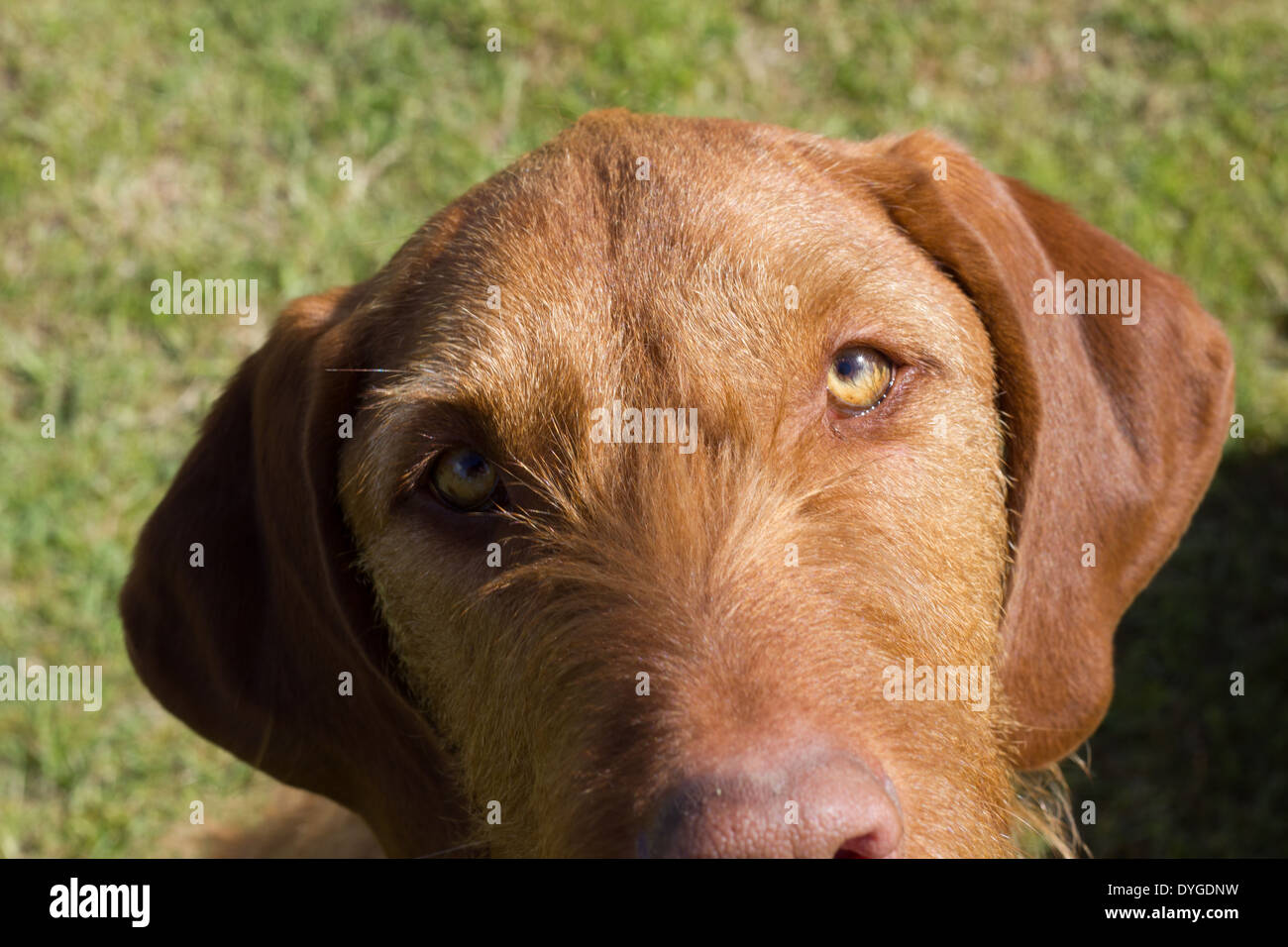 Male Hungarian vizsla, portrait with a background of grass. - Stock Image