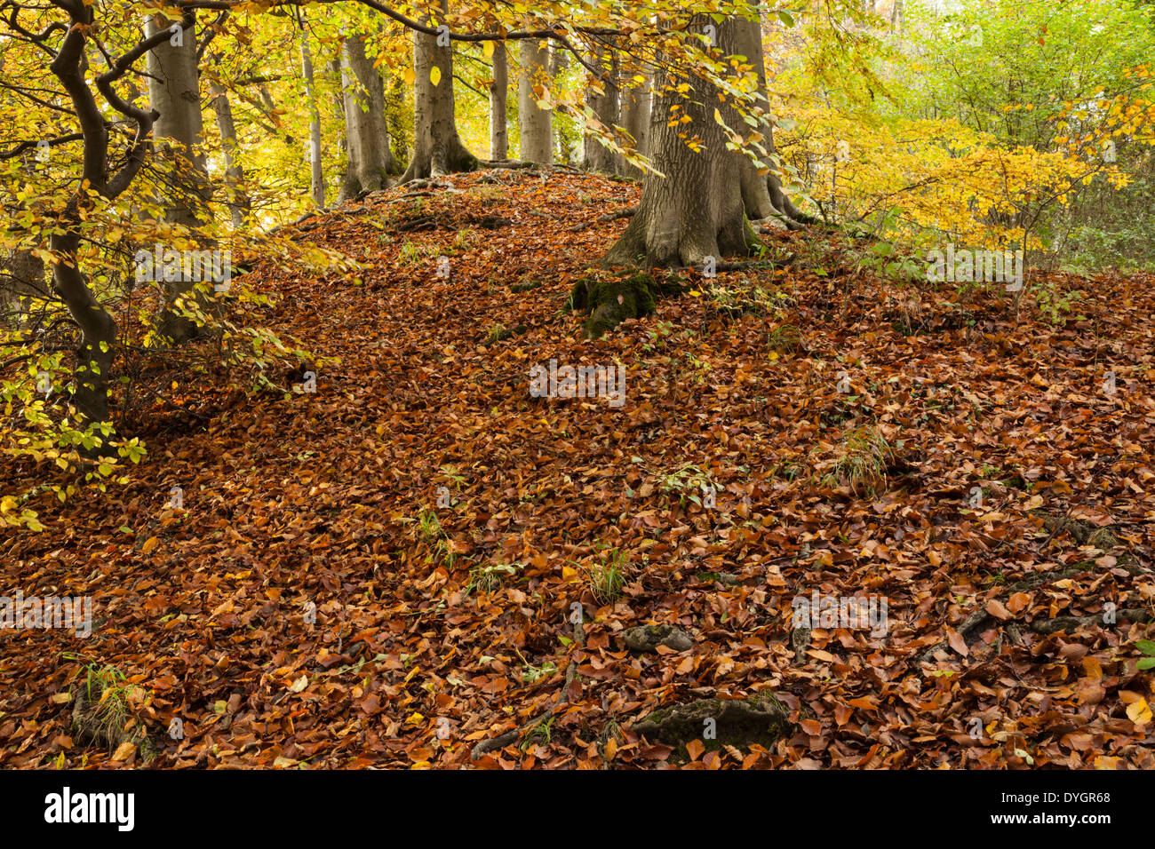 The ancient beech woodland on Sharpenhoe Clappers in autumn, part of the Chiltern Hills in Bedfordshire, England - Stock Image