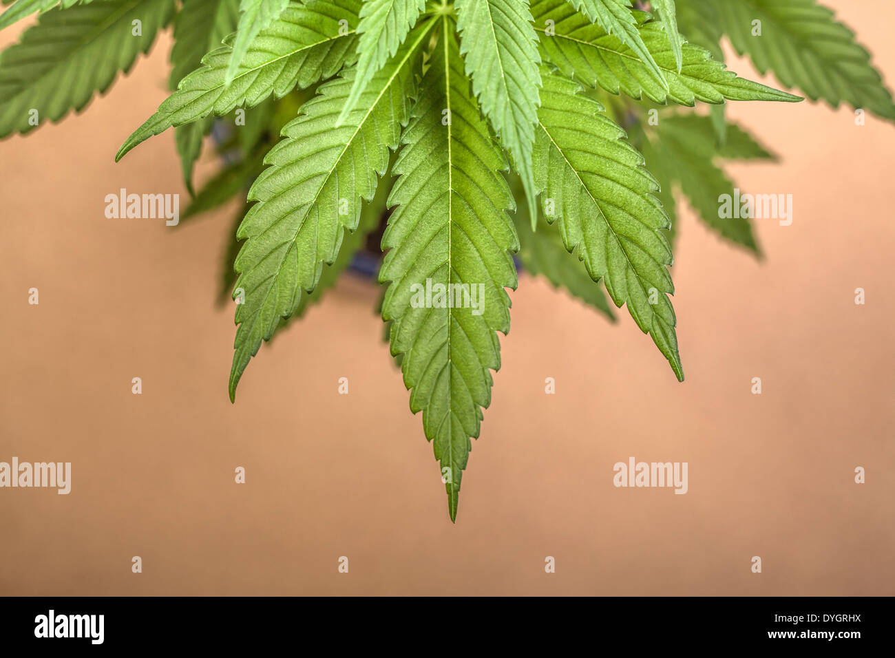 Sativa Dominant Strain Stock Photos & Sativa Dominant Strain