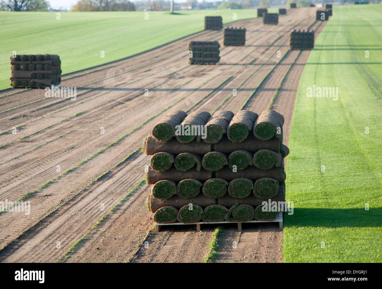 Rolls of turf grass standing on a pallet in a field, Blaxhall, Suffolk, England - Stock Image