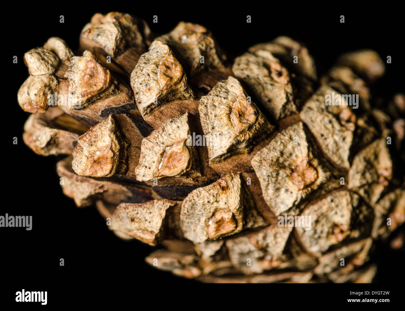 Conifer Pine cone on a black background. - Stock Image