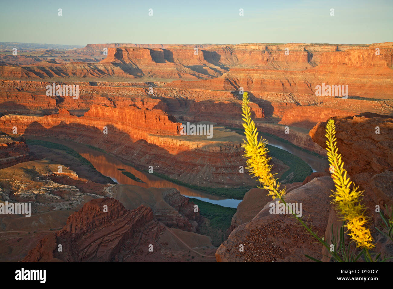 Colorado River, canyons, and Prince's Plume (Stanleya pinnata) from Dead Horse Point State Park, Utah USA - Stock Image
